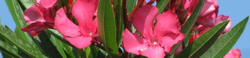 Oleanders snoeien