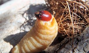 larve-palmsnuitkever