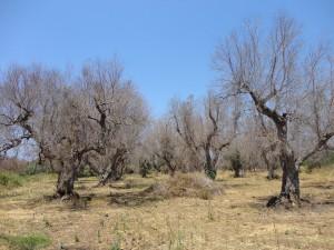 olijfboompest xylella-fastidiosa