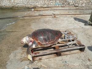 dode-zeeschildpad