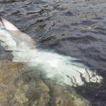 Dode haai bij Es Viver (video)